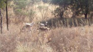 Goats, 24kms west of Cobar
